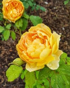 Dewey flowers in Stratford, Ontario